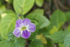 紫色爬行毛地黄属植物或中国紫罗兰色花在庭院里 免版税库存图片