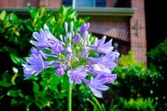 紫色爱情花在家前面的庭院里 免版税库存照片