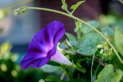 紫色牵牛花 库存照片