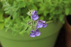 紫色猫薄荷花 库存图片