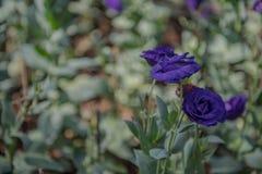 紫色玫瑰是非常美丽的 库存图片