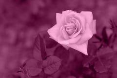 紫色玫瑰绘画 免版税图库摄影