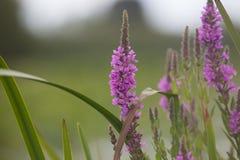 紫色珍珠菜千屈菜属Salicaria 免版税库存照片
