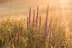 紫色珍珠菜在日出的千屈菜属salicaria 库存图片