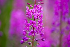 紫色珍珠菜 免版税库存照片
