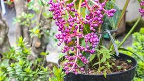 紫色球花在庭院里 免版税库存照片