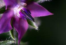 紫色琉璃苣花宏观特写镜头  免版税图库摄影
