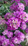 紫色瓣 库存图片