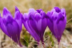 紫色番红花在唤醒在春天的雪开花 库存图片