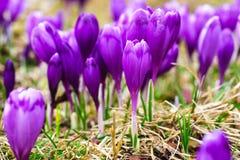 紫色番红花在唤醒在春天的雪开花 库存照片