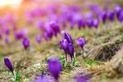 紫色番红花在唤醒在春天的雪开花 免版税库存图片