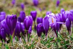 紫色番红花在唤醒在春天的雪开花 免版税库存照片