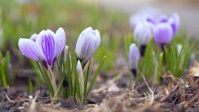 紫色番红花生长外部和打颤在风 影视素材