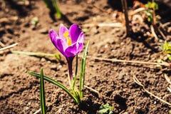 紫色番红花花 图库摄影