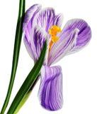 紫色番红花花  免版税图库摄影