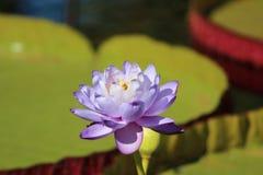 紫色百合 免版税库存图片