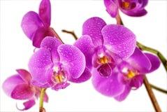 紫色的兰花弄湿了 免版税库存照片