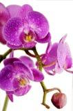 紫色的兰花弄湿了 免版税库存图片