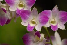 紫色的兰花 免版税库存照片