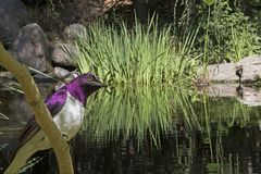 紫色的椋鸟科 免版税库存照片