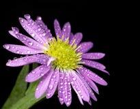 紫色的花弄湿了 图库摄影