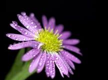 紫色的花弄湿了 库存图片