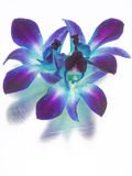 紫色的蓝色的兰花 免版税库存图片