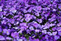 紫色的蝴蝶花 库存照片
