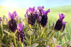 紫色的蝶粉花 免版税库存照片