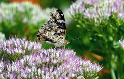 紫色的蝶粉花 库存图片