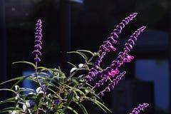 紫色的贤哲 图库摄影