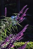 紫色的贤哲 免版税库存图片