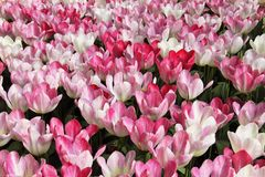 紫色的郁金香和白花草甸 免版税图库摄影