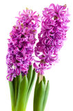 紫色的风信花 免版税库存照片