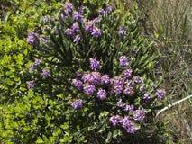 紫色的fowers 库存图片