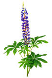 紫色的lupines 库存图片