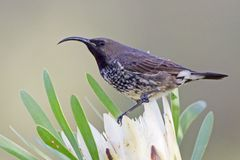 紫色的sunbird 免版税库存图片