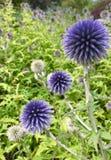 紫色皇家苏格兰蓟 库存图片