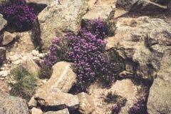 紫色石南花在高峰区国家公园 库存图片