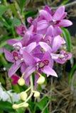 紫色石斛兰属 免版税库存照片