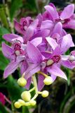 紫色石斛兰属 库存照片