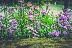 紫色石竹caryophyllus、康乃馨或者丁香桃红色 免版税库存图片