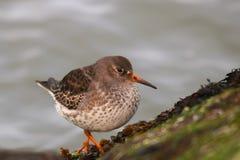 紫色矶鹞一只小水鸟 免版税库存照片