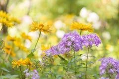 紫色福禄考和黄色锥体特写镜头在一个晴朗的夏天庭院里开花开花 库存照片