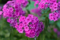 紫色福禄考在庭院里 免版税库存照片
