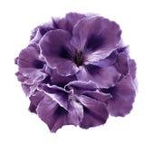 紫色秋海棠花束在白色的隔绝了与裁减路线的背景 没有阴影的特写镜头 免版税库存图片