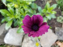 紫色精制的雏菊 库存图片