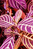 紫色紫罗兰色丁香离开植物 库存图片