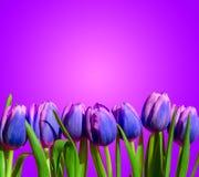 紫色紫罗兰色郁金香开花构成春天假日贺卡 免版税库存照片