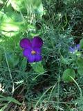 紫色紫罗兰 库存图片